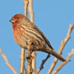 housefinch