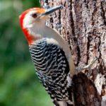 redbelliedwoodpecker